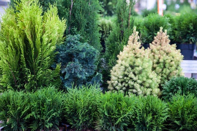 Árvores de Natal, abeto e thuja na loja, a composição dos evergreens foto de stock