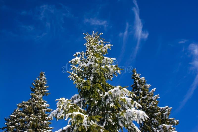 Árvores de Natal do abeto vermelho sob a neve fotografia de stock