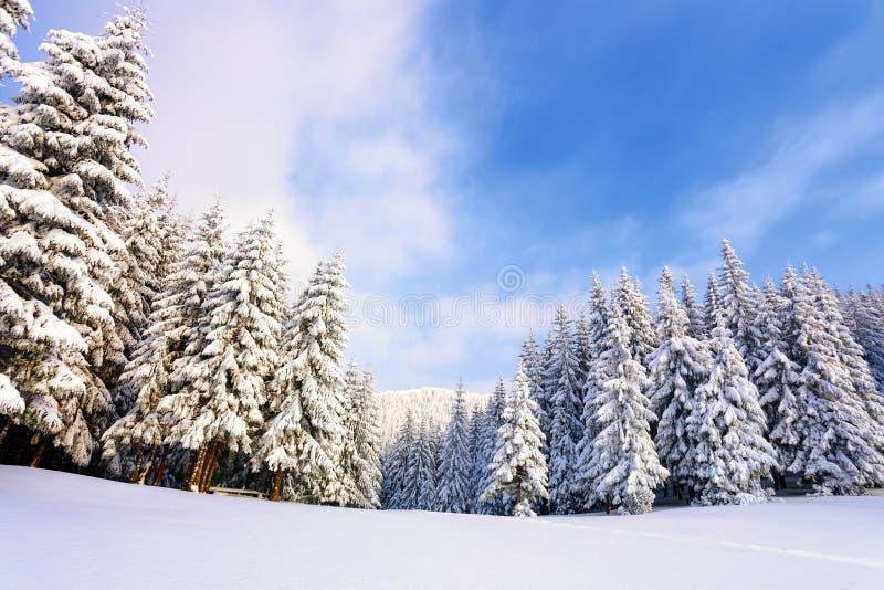 Árvores de Natal macias fantásticas na neve Cartão com árvores altas, o céu azul e o monte de neve Cenário do inverno no dia enso imagem de stock royalty free