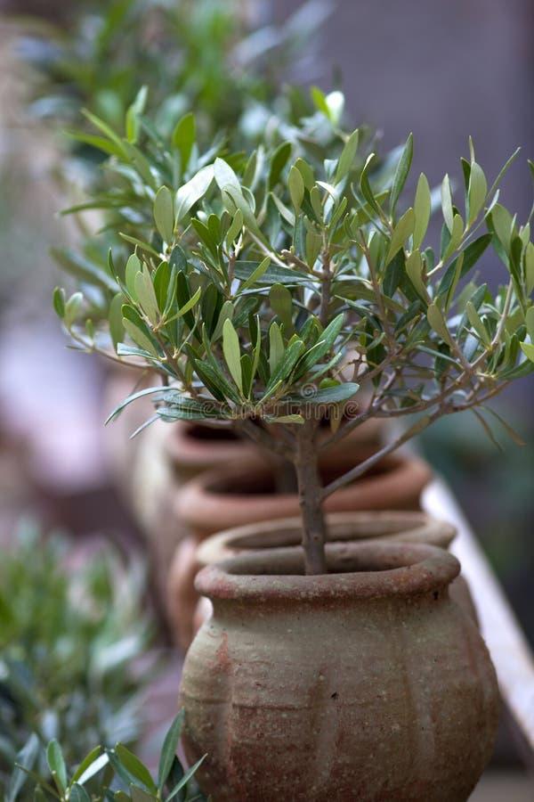 Árvores de Olivre fotografia de stock royalty free