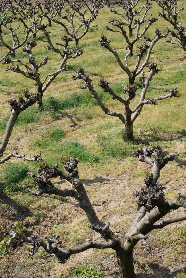 Árvores de pêssego novas imagem de stock