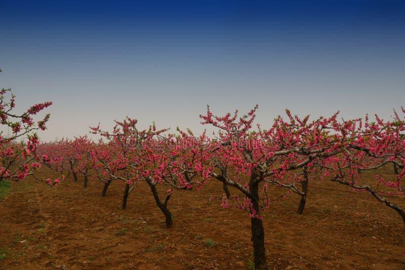 Árvores de pêssego vermelhas imagens de stock