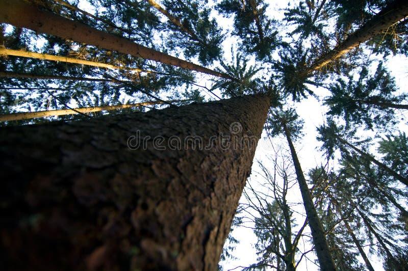 Árvores de pinho convergentes foto de stock