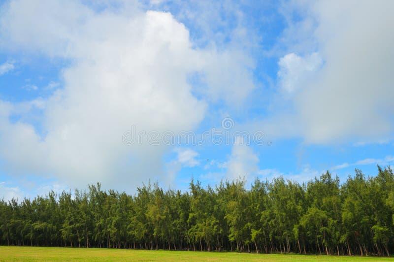 Árvores de pinho densas fotografia de stock royalty free