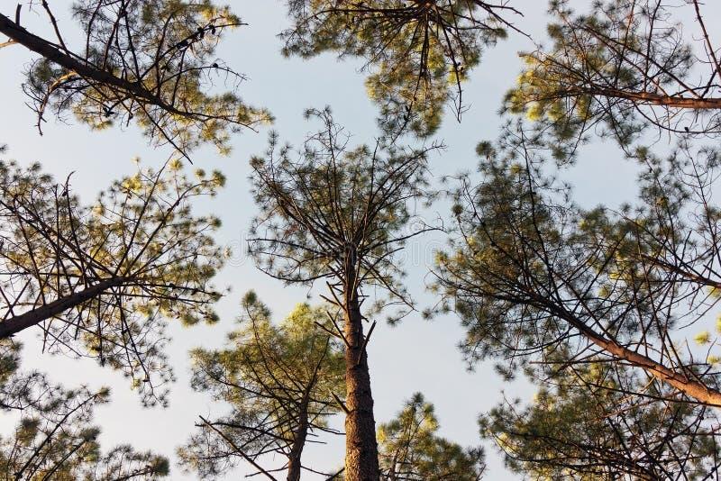 Árvores de pinho do fole fotografia de stock royalty free