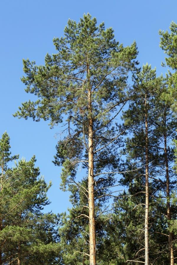 Árvores de pinho na floresta imagem de stock royalty free