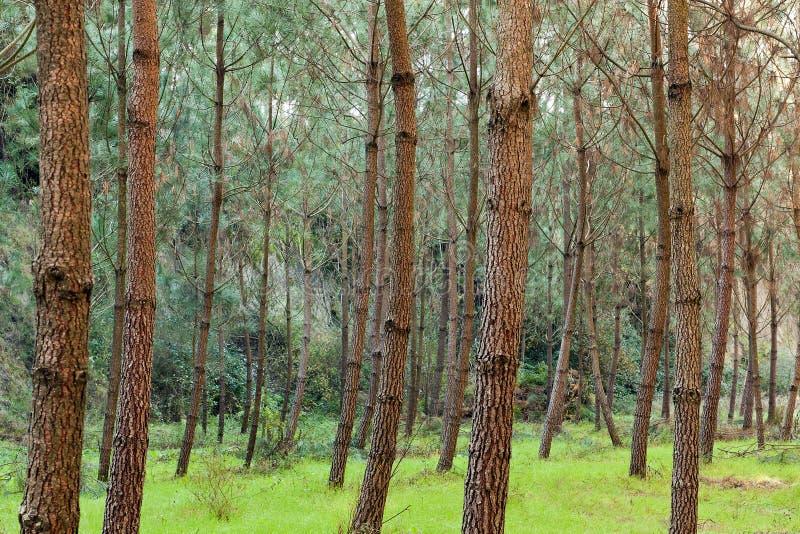 Árvores de pinho na grama Greeny fotografia de stock royalty free