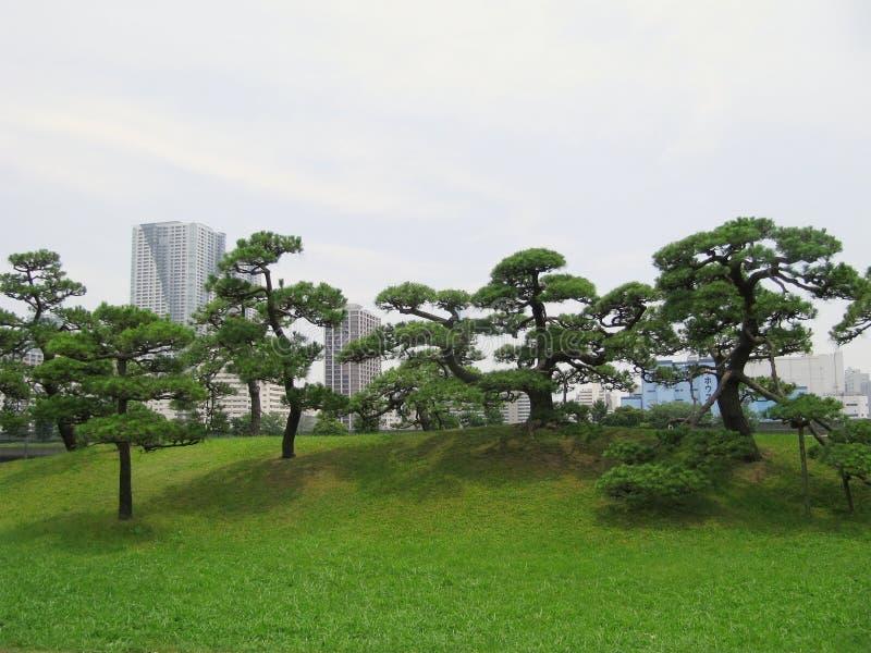 Árvores de pinho no Central Park de Tokyo imagem de stock