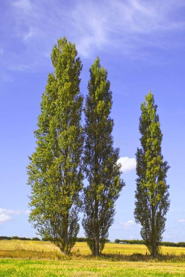 Árvores de Poplar 2 fotografia de stock royalty free