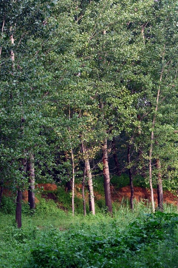 Árvores de Poplar imagem de stock royalty free