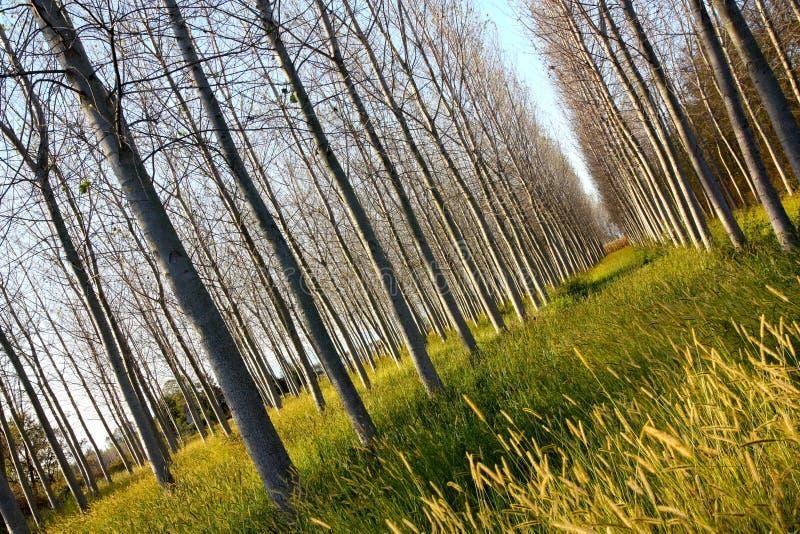 Árvores de Poplar em Italy imagens de stock royalty free