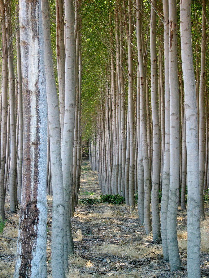 Árvores de Poplar uniformes em Oregon foto de stock royalty free