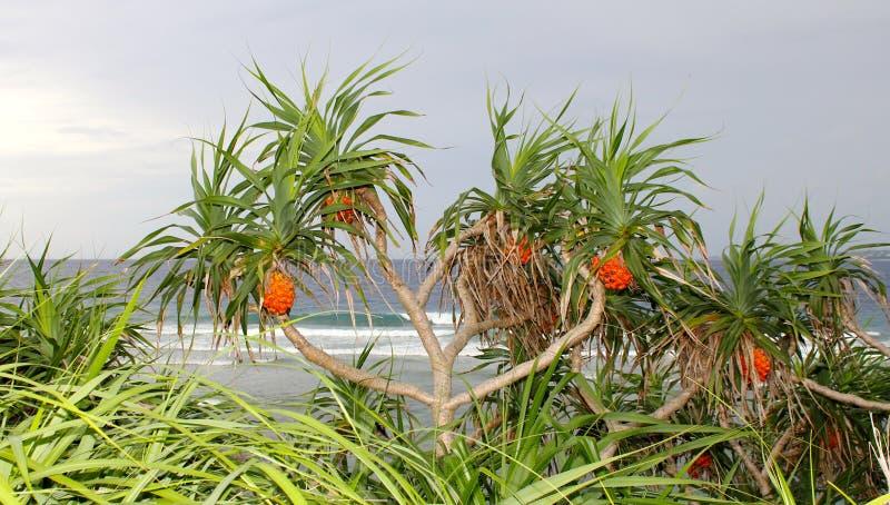 Árvores de Screwpine do Pandanus na praia foto de stock royalty free