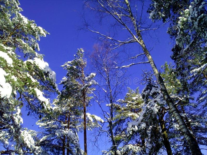 Árvores de Snovy no inverno fotografia de stock royalty free