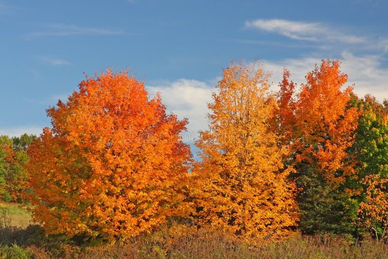 Árvores de Sugar Maple na queda imagens de stock royalty free