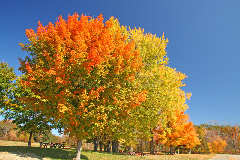 Árvores de Sugar Maple na queda fotografia de stock