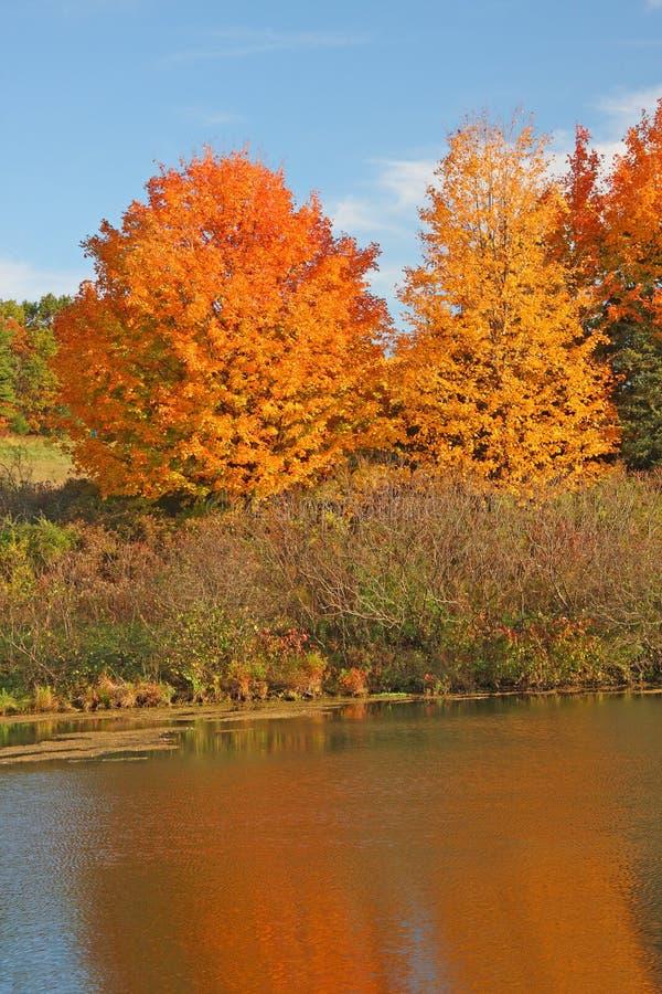 Árvores de Sugar Maple na queda na lagoa fotos de stock