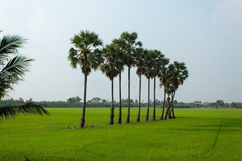 Árvores de Sugar Palm que é ficado situado nas almofadas de arroz bonitas, verdes foto de stock royalty free