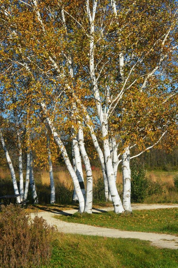 Árvores de vidoeiro branco americanas - papyrifera da bétula imagens de stock