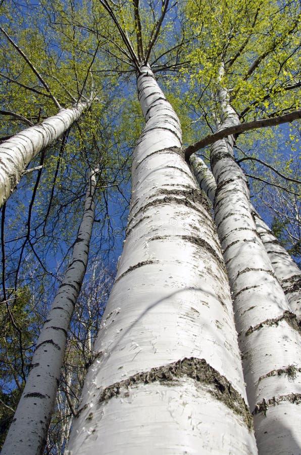 Árvores de vidoeiro com as folhas frescas na floresta da mola imagem de stock royalty free