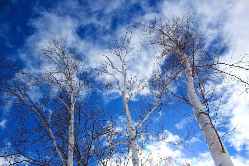 Árvores de vidoeiro contra o céu azul e nuvens dramáticos foto de stock royalty free