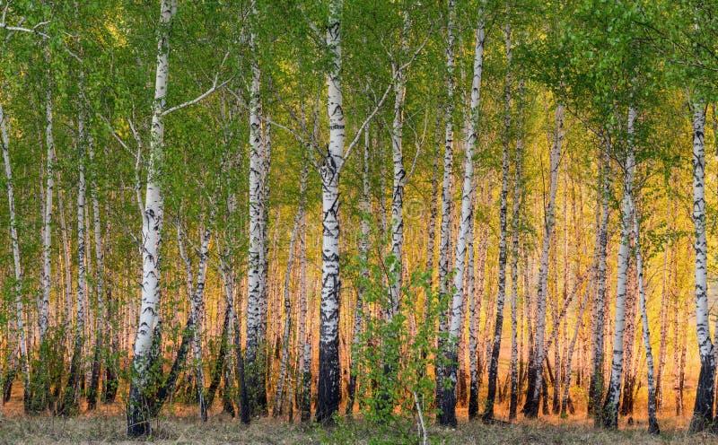 Árvores de vidoeiro da mola na luz solar imagem de stock royalty free