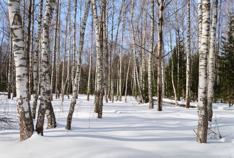 Árvores de vidoeiro desencapadas na floresta do inverno fotografia de stock