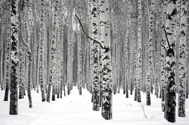 Árvores de vidoeiro do inverno imagem de stock
