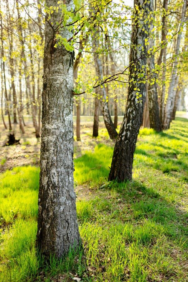 Árvores de vidoeiro e grama nova imagens de stock royalty free