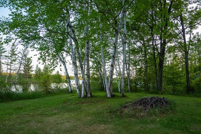 Árvores de vidoeiro e pilha de madeira em uma floresta boreal de Northwoods no curto do Chippewa Flowage fotos de stock royalty free