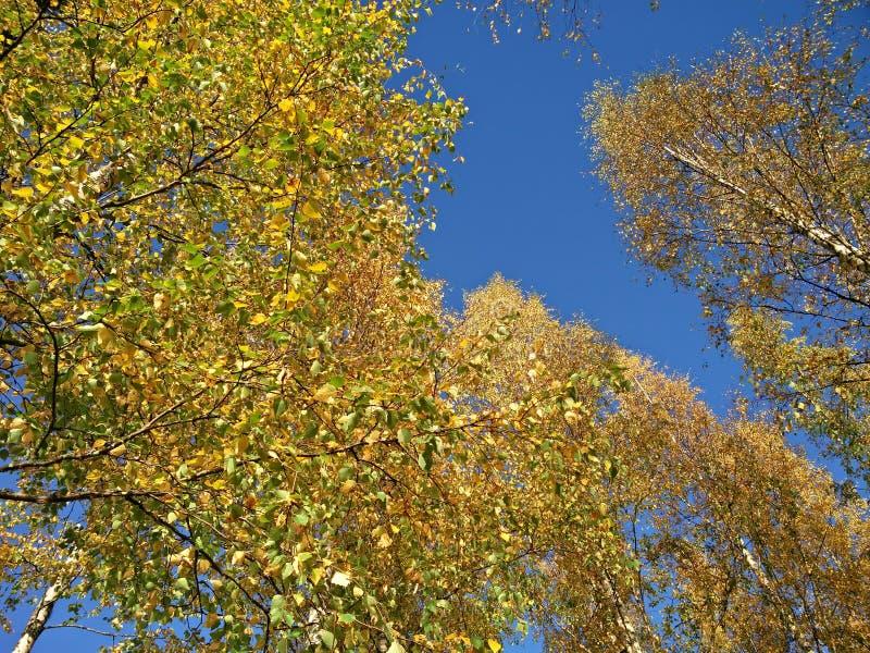 Árvores de vidoeiro em cores do outono fotos de stock