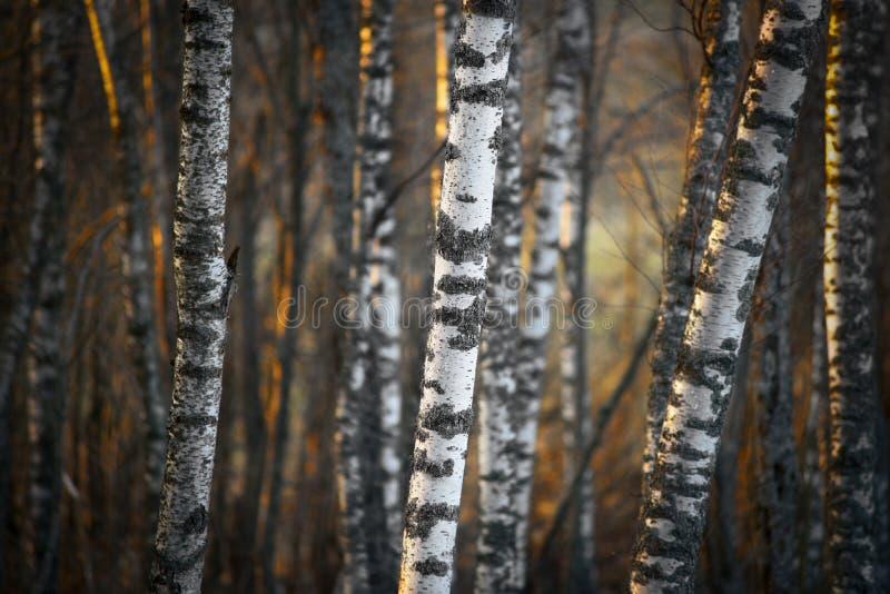 Árvores de vidoeiro na luz da noite foto de stock