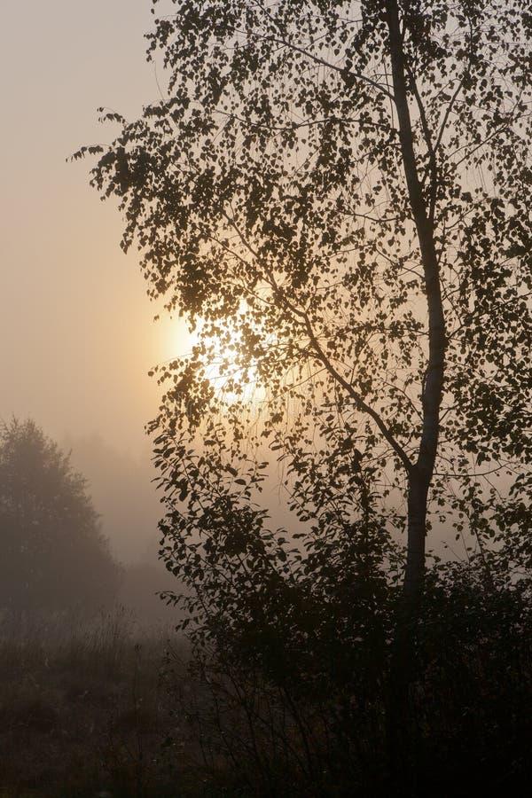 Árvore de vidoeiro na manhã enevoada contra a esfera do sol imagem de stock royalty free