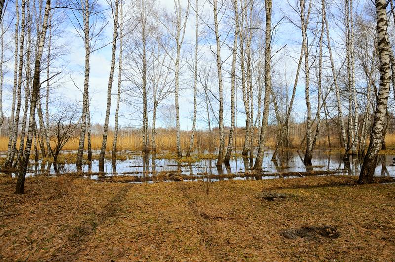 Árvores de vidoeiro na mola onde a floresta vale a pena na água fotos de stock