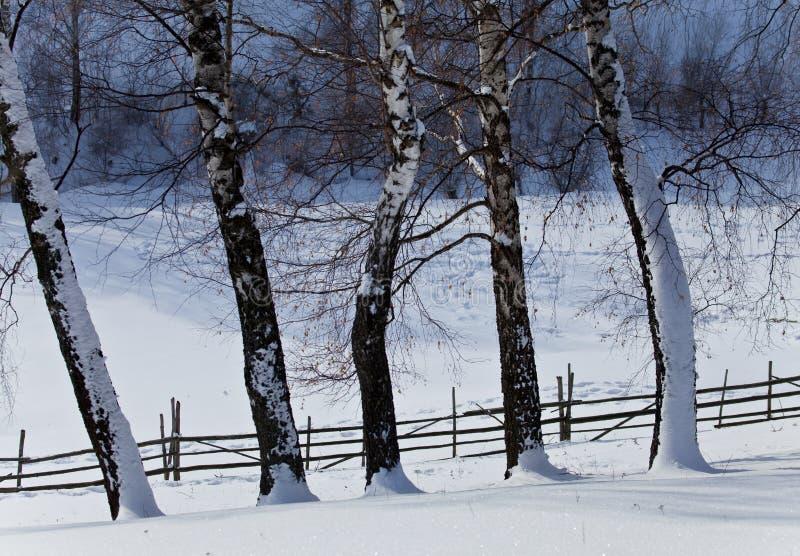 Árvores de vidoeiro no inverno imagens de stock royalty free