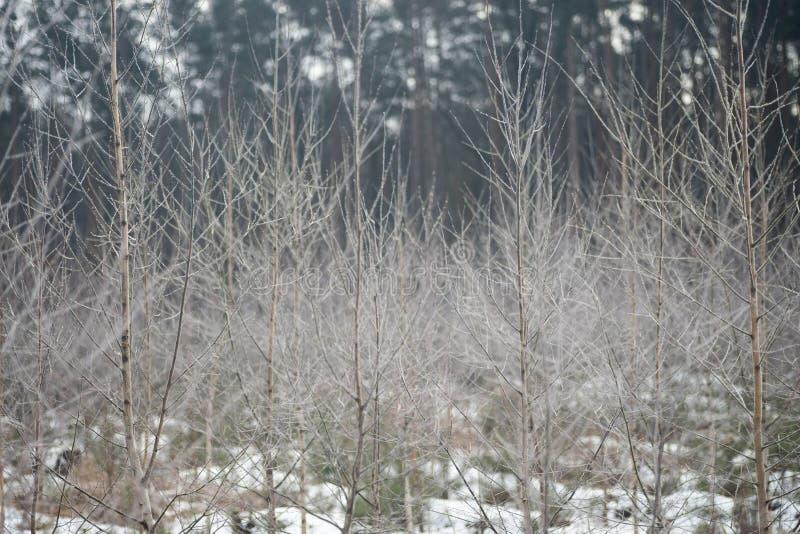 Árvores de vidoeiro novas cobertas com a geada foto de stock