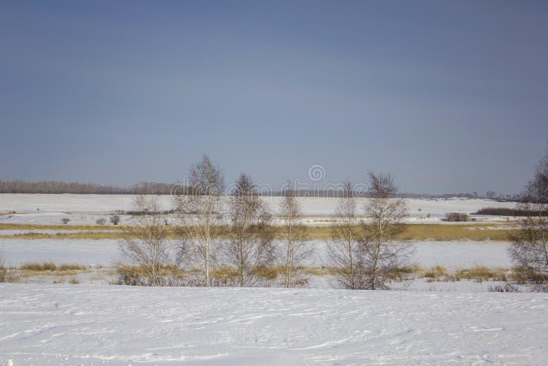 Árvores de vidoeiro preto e branco contra um vale nevado seco do inverno sob um céu azul claro imagens de stock