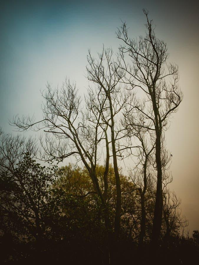 árvores desencapadas bonitas altas no azul da natureza da paisagem do outono do céu foto de stock