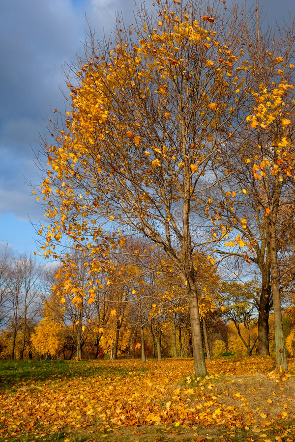 Árvores do amarelo de Autmn com folhas caídas foto de stock