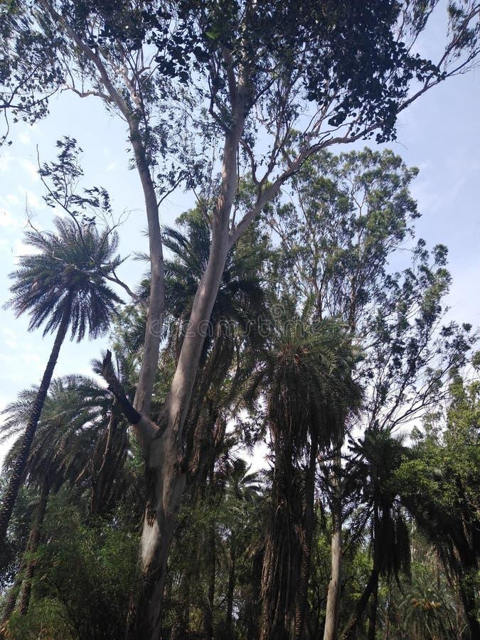 Árvores do eucalipto e da data com arbustos fotografia de stock royalty free