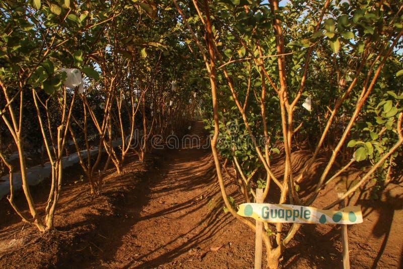 Árvores do guajava L do Psidium ou goiaba de Apple e sabido popularmente como Bayabas no filipino foto de stock royalty free