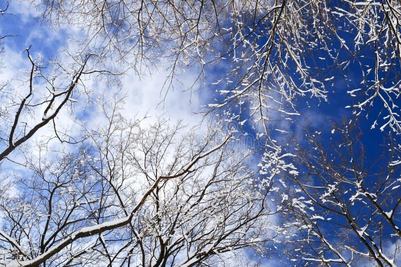 Árvores do inverno e céu azul fotografia de stock