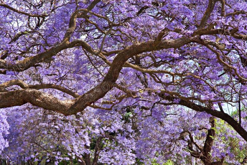 Árvores do Jacaranda foto de stock