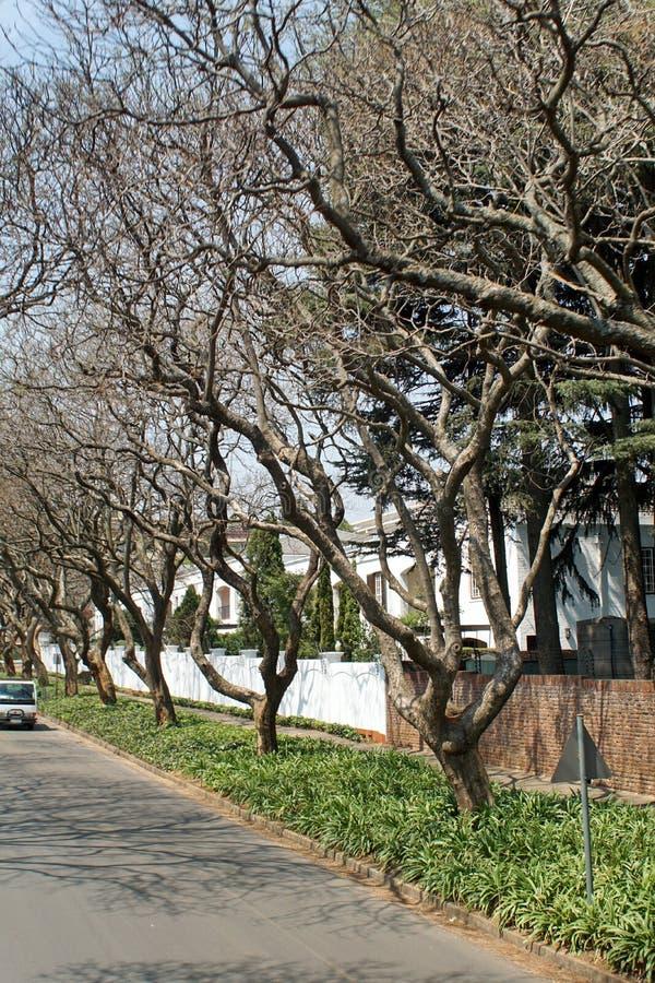 Árvores do Jacaranda ao longo do lado da estrada em Joanesburgo fotografia de stock