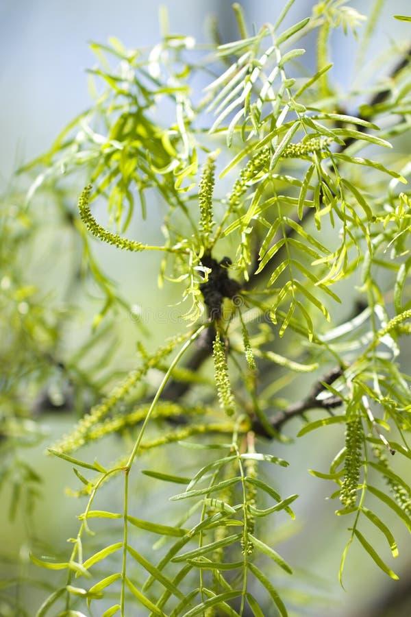 Árvores do Mesquite imagem de stock royalty free