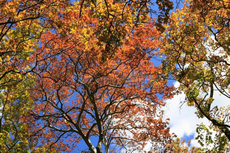 Árvores do outono, amarelo verde vermelho foto de stock