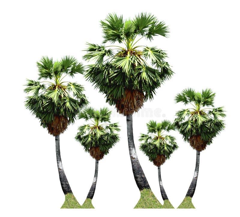 árvores do Palma-açúcar, crescimento de fruto tropical acima na exploração agrícola orgânica isolada no fundo branco imagem de stock royalty free