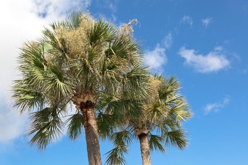 Árvores do Palmetto foto de stock