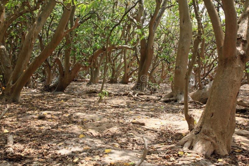 Árvores do Pisonia na senhora Musgrave Island fotos de stock royalty free