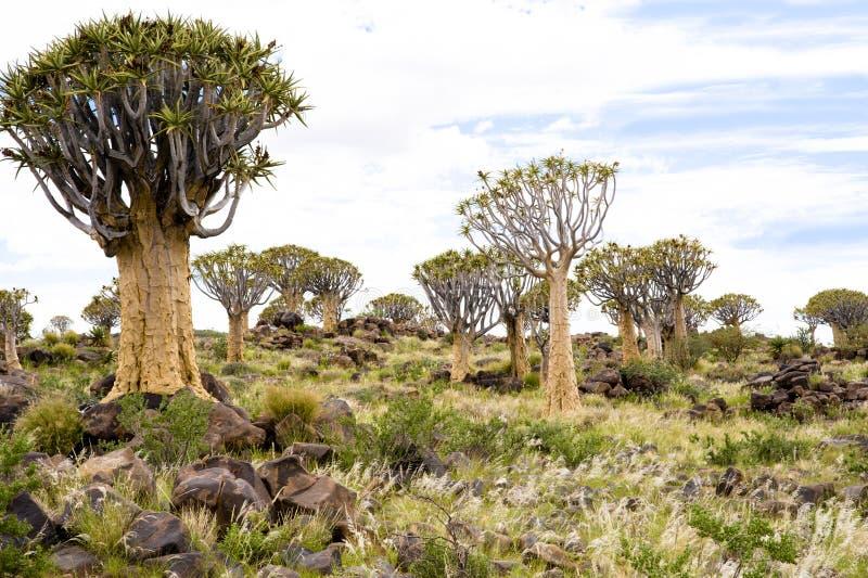 Árvores do Quiver em Namíbia fotografia de stock royalty free
